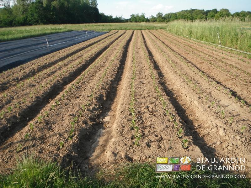 plantation sur des planches précédemment occultées