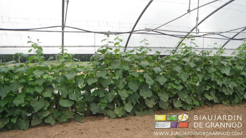 culture de concombre ramé sous tunnel, non paillée pour favoriser la reproduction de certains insectes auxiliaires