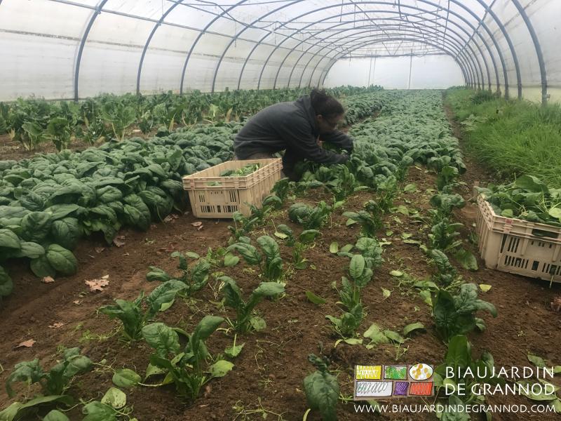 l'épreuve de la récolte de l'épinard d'hiver : c'est long, fastidieux, exige du tri, çà fait froid aux mains mouillées, c'est pas mal de temps à 4 pattes