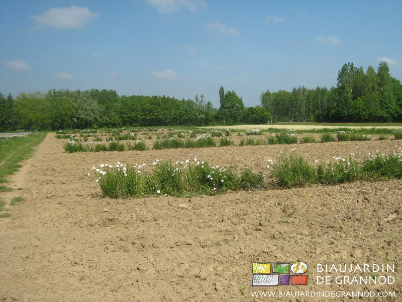 des bandes fleuries entre chaque carré de culture, une technique mise en place au Biau Jardin de Grannod depuis ledébut de ce millénaire, et qui donne satisfaction.