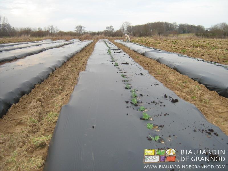plantation des mottes de petit pois sur paillage biodégradable