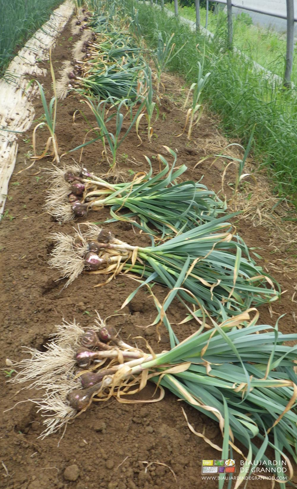Ail biau jardin de grannod - Recolte de l ail ...
