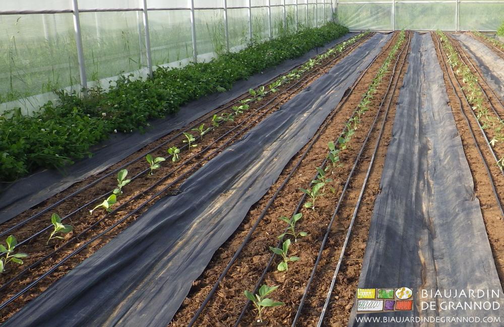 Culture d'aubergine sur sol biné, seules les allées sont occultées par un paillage plastique.