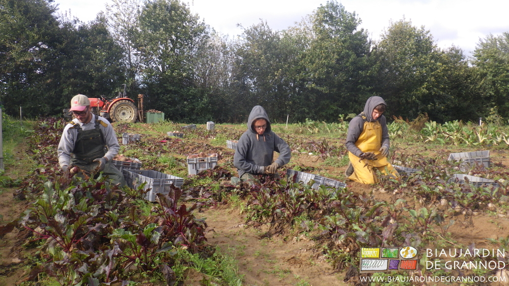 Récolte manuelle de la betterave rouge