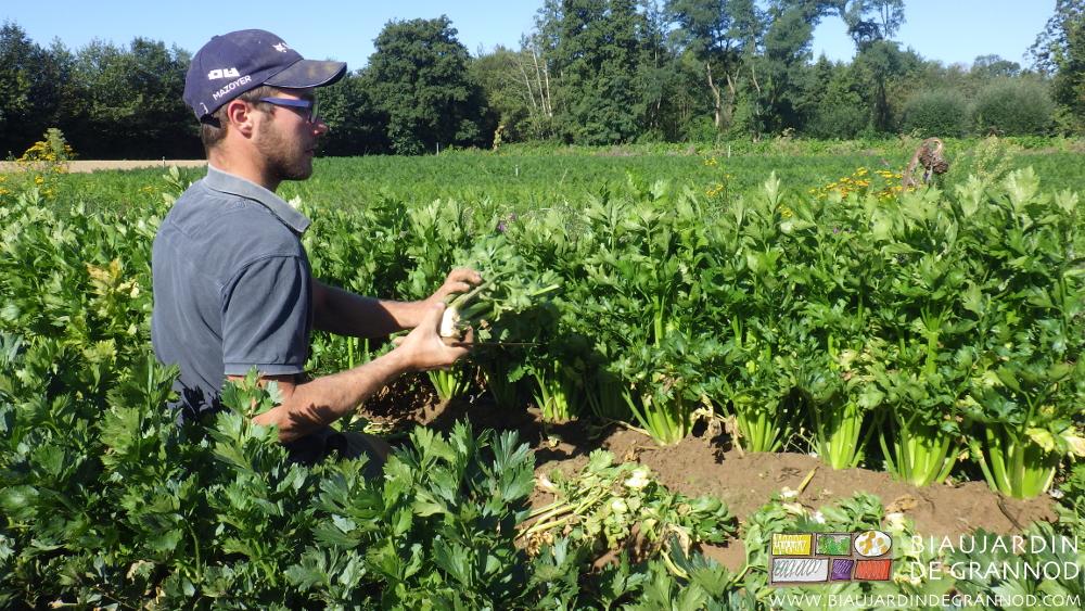 Récolte / nettoyage du céleri branche.