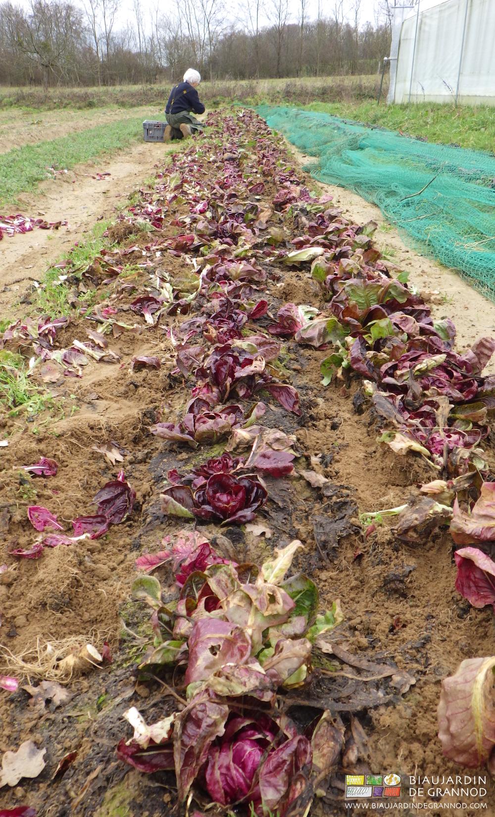 Récolte de chicorée rouge de Vérone pendant la saison hivernale.