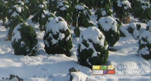 Chou frisé grand vert du Nord sous la neige