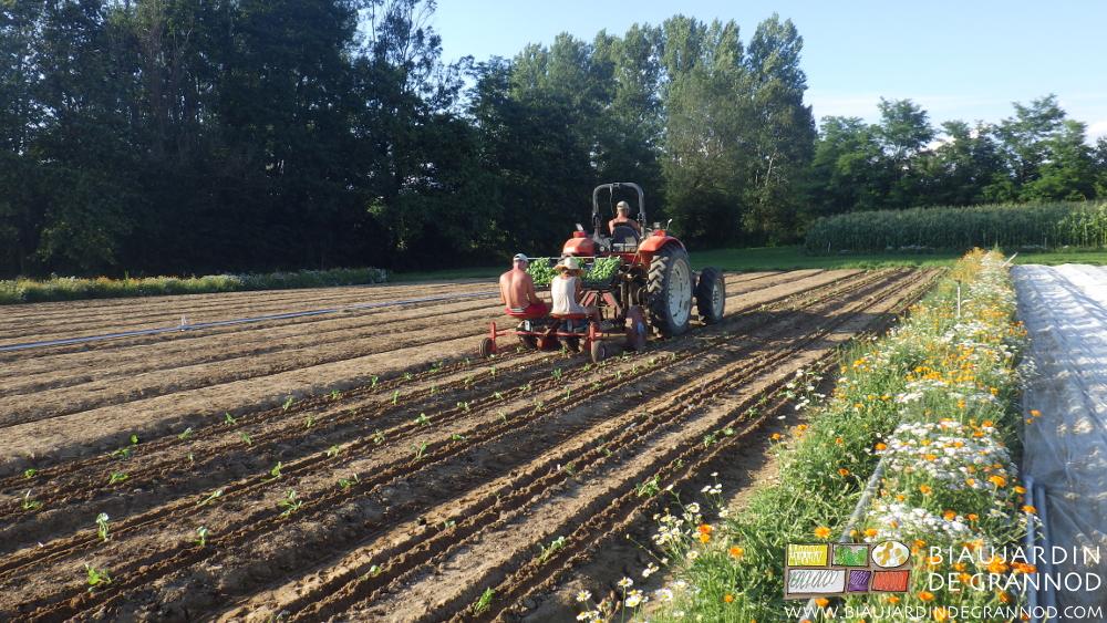 Plantation mécanique des choux dans leur carré longé de bandes fleuries pour les auxiliaires