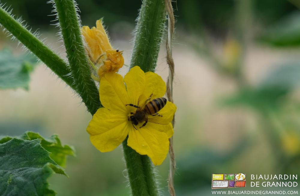 Pollinisation des fleurs de concombre par les butineurs indigènes présents sur la ferme.