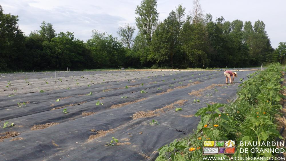 Plantation manuelle des carrés de courges