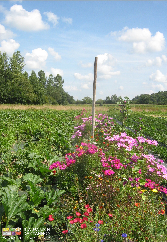 Culture de bandes fleuries permanentes pour favoriser les auxiliaires : place perdue ou gagnée ???