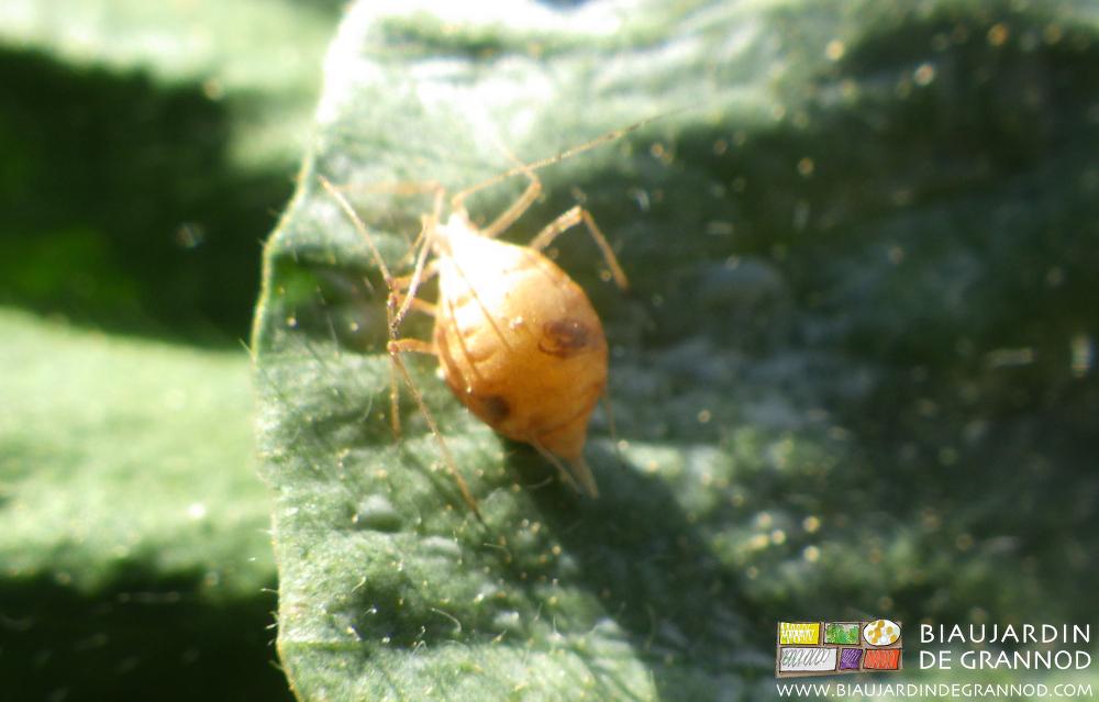 Momie de puceron victime d'un parasitoïde, sur trèfle engrais vert.
