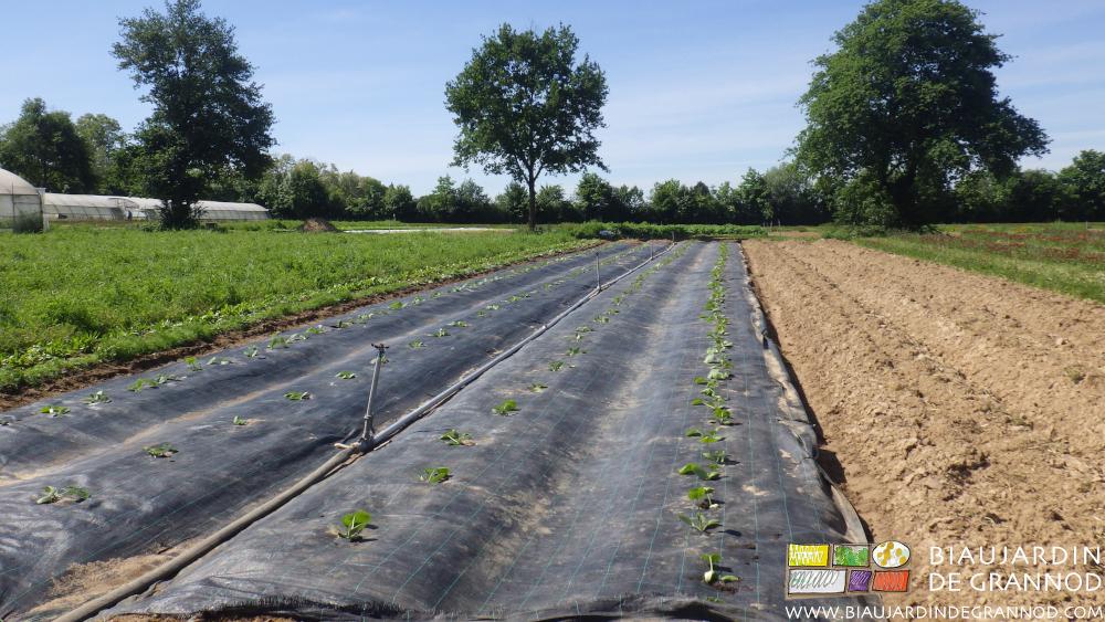 de G à D plantation de courgette à côté de la bande fleurie, planches prêtes pour les suivantes, planches encore en engrais vert pour les courgettes de fin de saison.