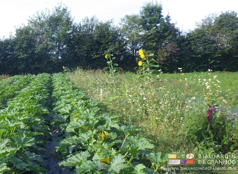 Bande fleurie permanente pour favoriser la pollinisation du carré de courgette en planche permanente.