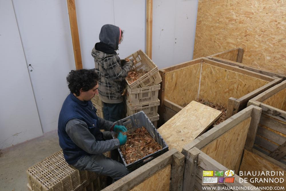 Nettoyage des échalotes conservées en local frais et ventilé.