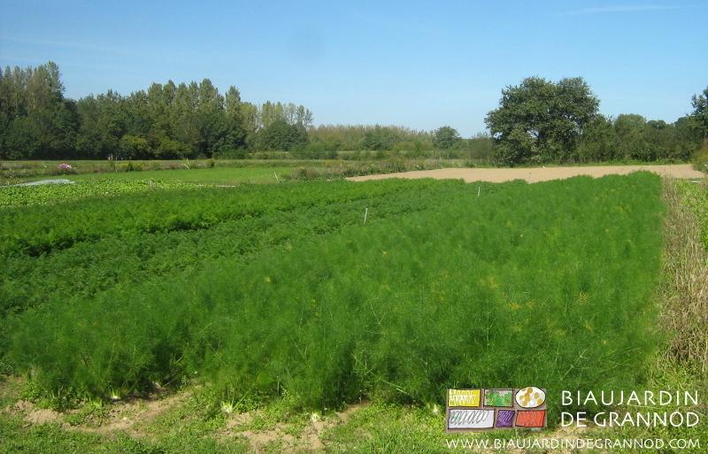 2 plantations échelonnées de fenouil entre une bande fleurie et d'autres apiacées : cèleri-rave et panais.
