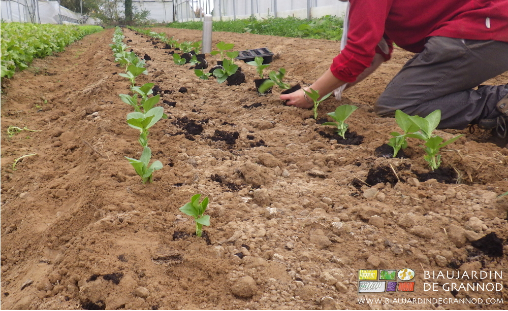 Plantation de la fève sur planche permanente non filmée, sous tunnel froid.