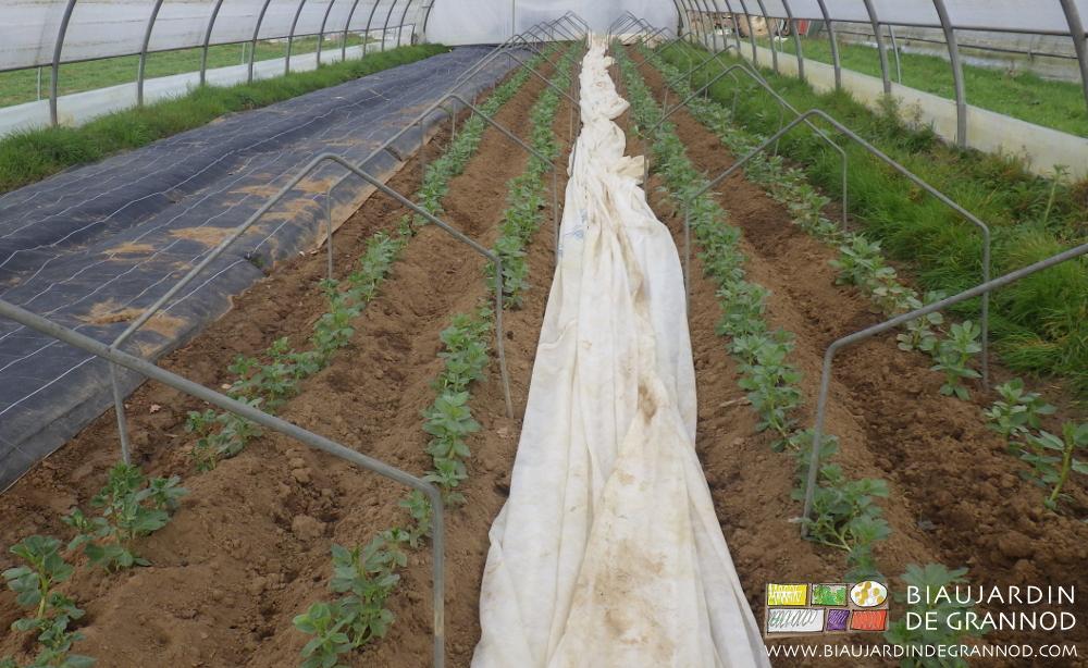 Culture de fève sous tunnel avec protection supplémentaire contre le froid par voile non-tissé sur arceau chenille. À gauche, occultation pour lutter contre les adventices avant semis ou plantation.