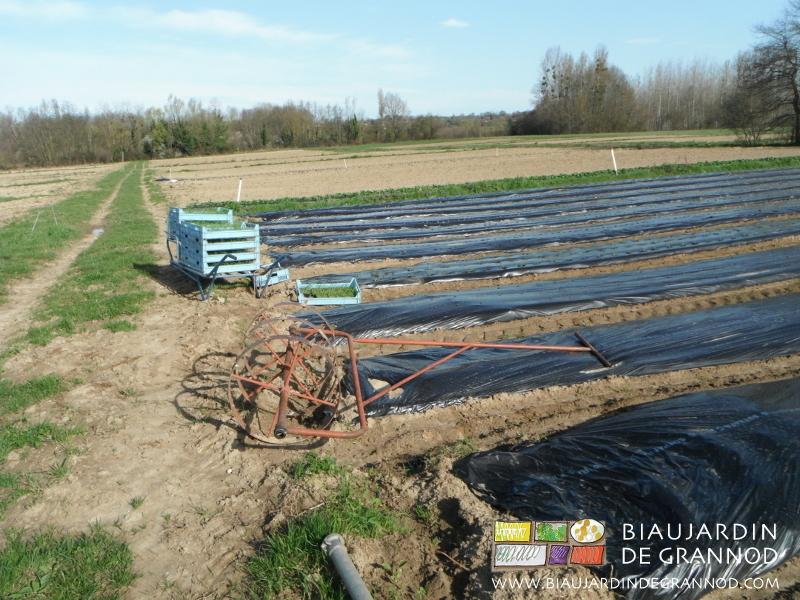 Utilisation d'un rouleau perceur léger auto-construit pour faciliter la plantation
