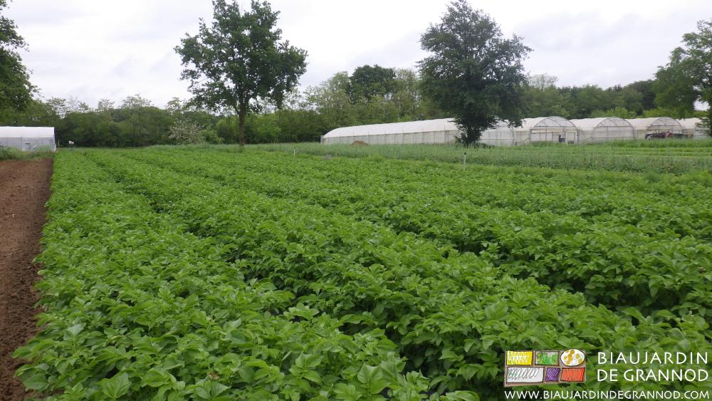 Culture de pomme de terre primeur à chair ferme en plein champ.