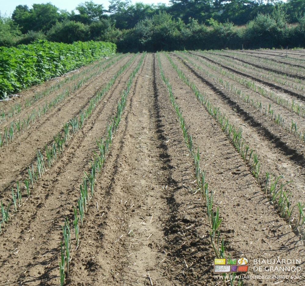 Même avec un sol bien pourvu en matières végétales, il risque la battance lors de la reprise