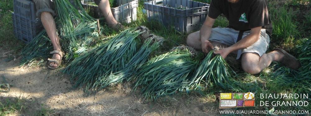 Habillage manuel des poireaux avant plantation