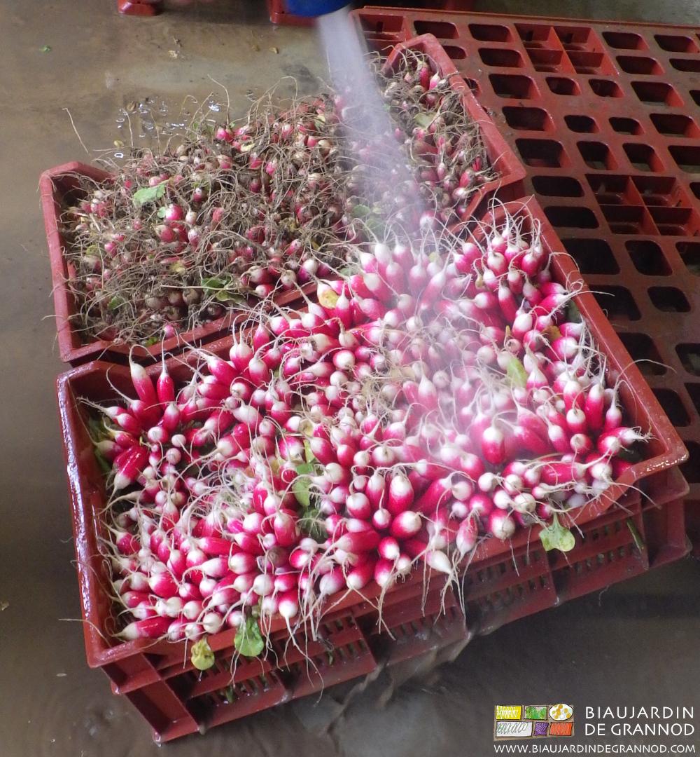 Parfois, le lavage des bottes de radis est indispensable.
