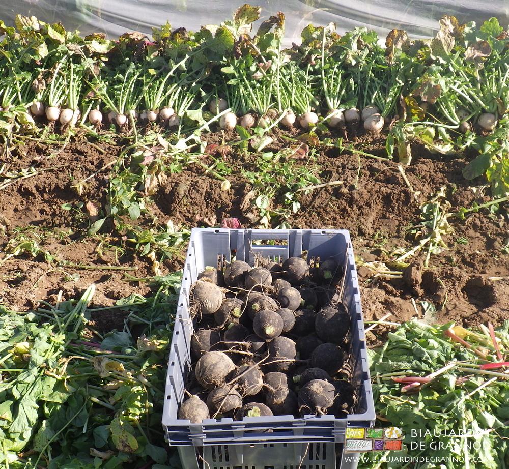 Récolte de radis noir et radis à chair rouge pour conservation hivernale.