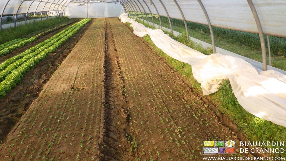 C'est de la régularité de la levée que dépend la qualité de la récolte du radis.