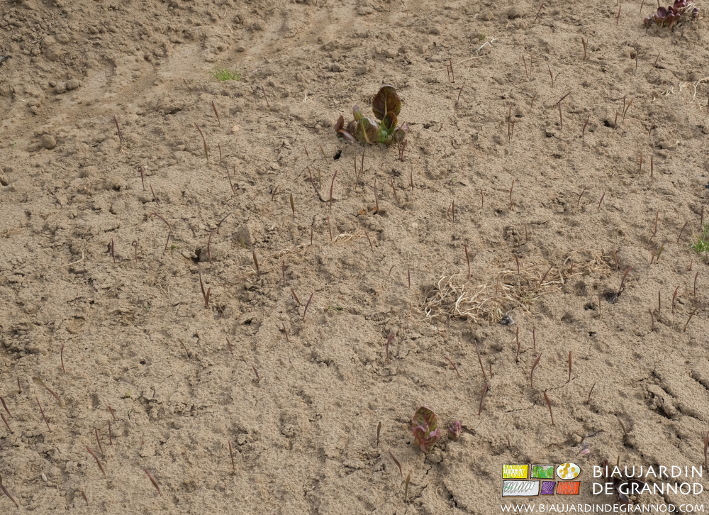 Levée d'engrais vert de seigle semé en fin d'hiver.