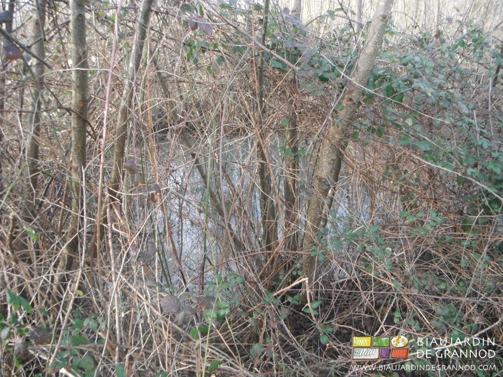 Aulne glutineux autour du bassin de rétention des eaux du drainage