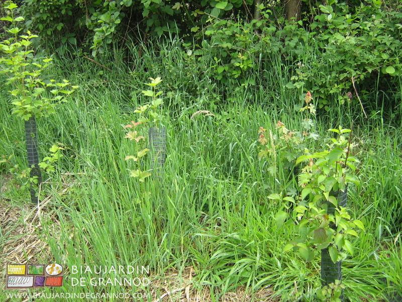 La jeune haie souffre de la concurrence de l'herbe, graminées particulièrement.