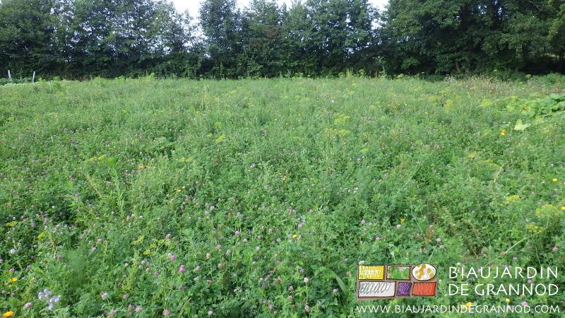 Mélange diversifié d'engrais vert pluriannuel en deuxième année de pousse