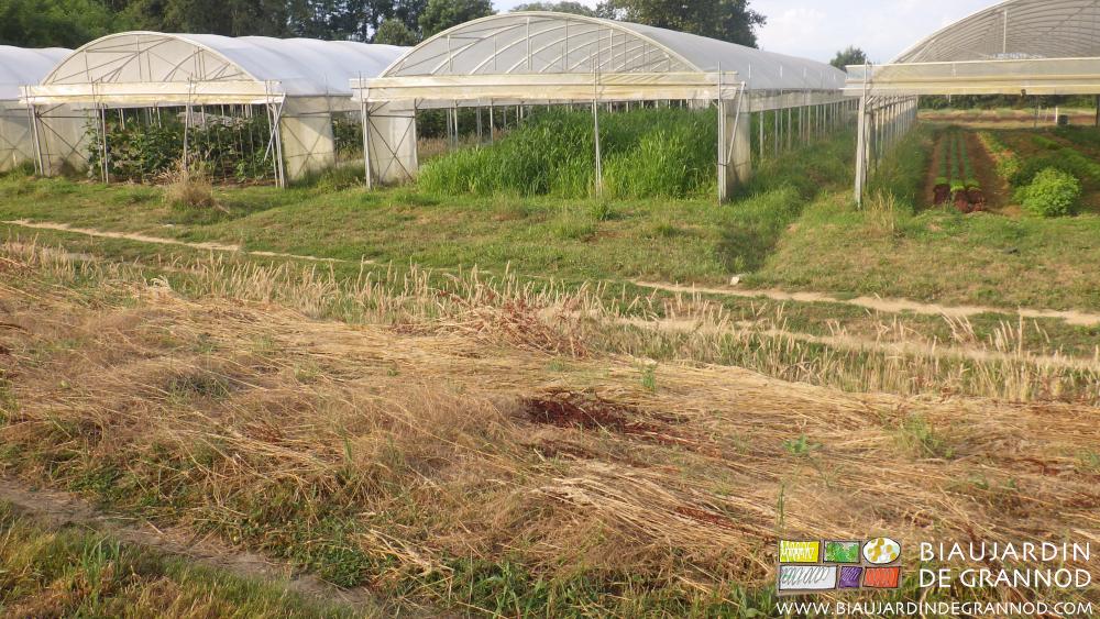 Végétaux très mûrs (tige creuse) fauchés sur place à maturité pour l'abri des auxiliaires.