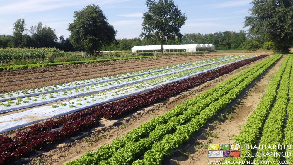 Échelonnement de G à D : planche buttée, préparée, salade en debut de culture, salade proche du stade récolte.
