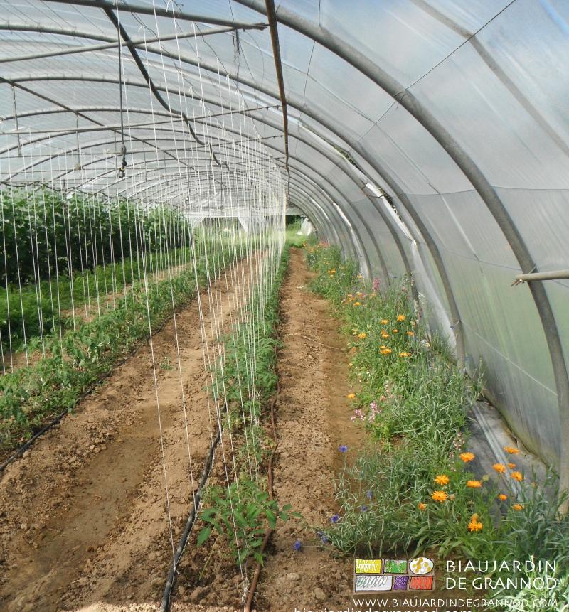 Tomate en goutte à goutte près d'une bordure fleurie : le feuillage n'est pas mouillé.