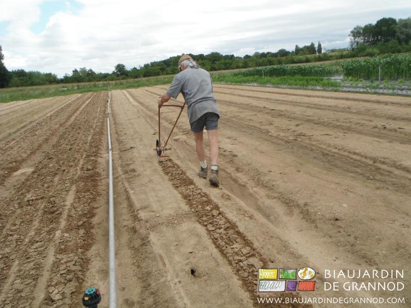 premier binage du carré de carotte d'hiver à la houe maraîchère