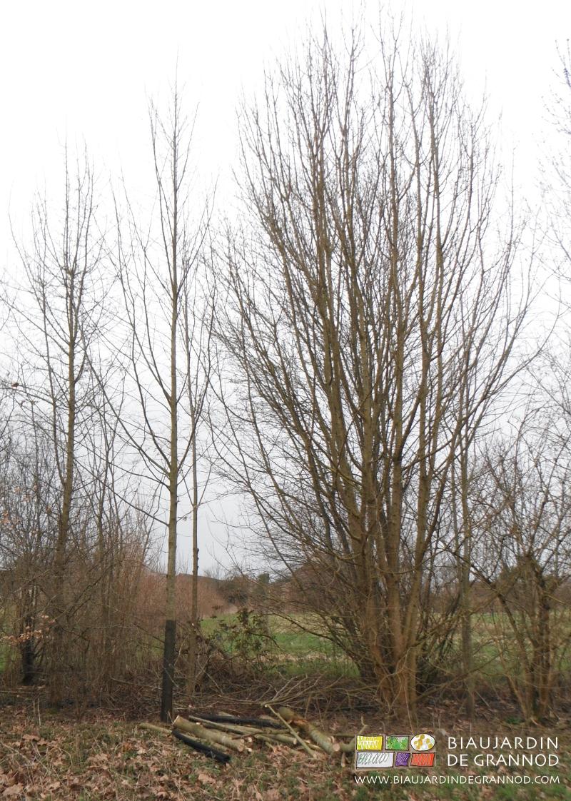 Aider à la pousse des arbres de haut jet choisis