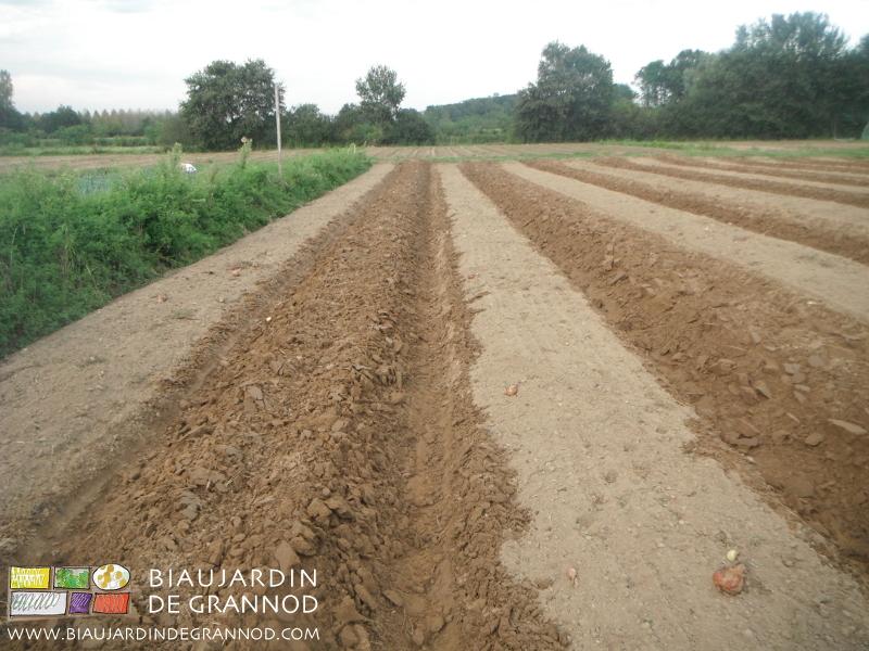 Derrière la récolte de l'oignon, la butteuse remonte la planche avant semis d'engrais vert