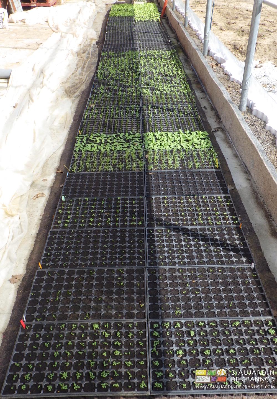 Pépinière de plants d'une quinzaine de variétés pour bandes fleuries pluri-annuelles, réservoirs d'auxiliaires