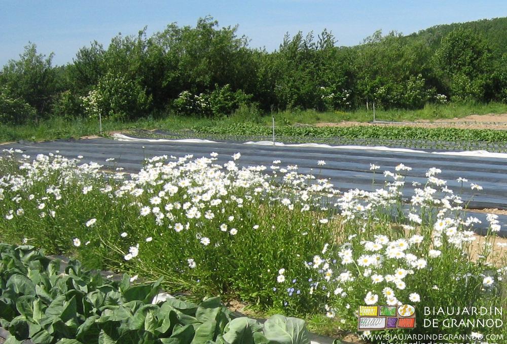 La bande fleurie, milieu favorable aux auxiliaires malgré l'occultation en cours.