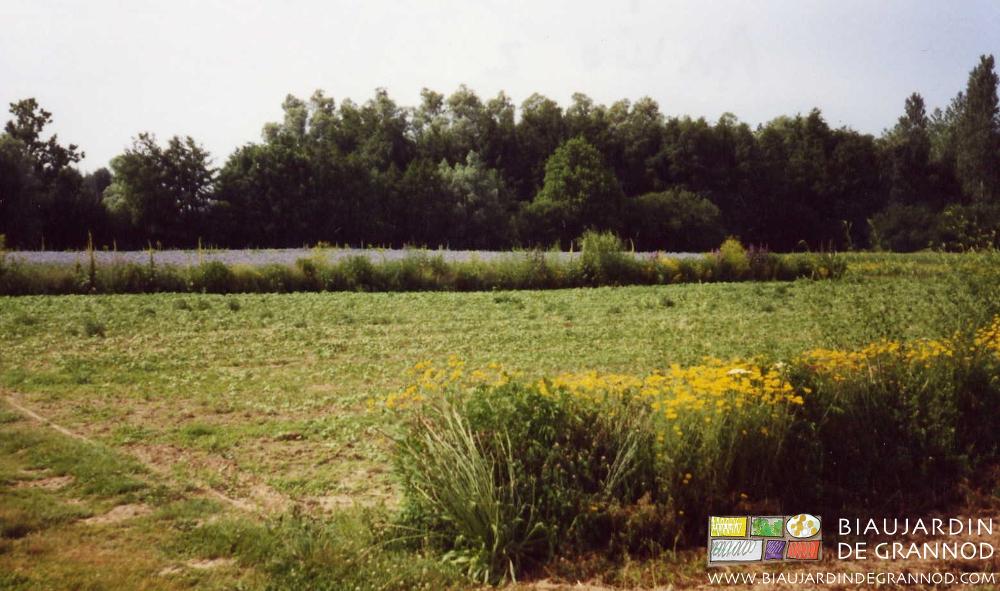 Certaines espèces peuvent devenir envahissantes et limiter la biodiversité dans les bandes fleuries.