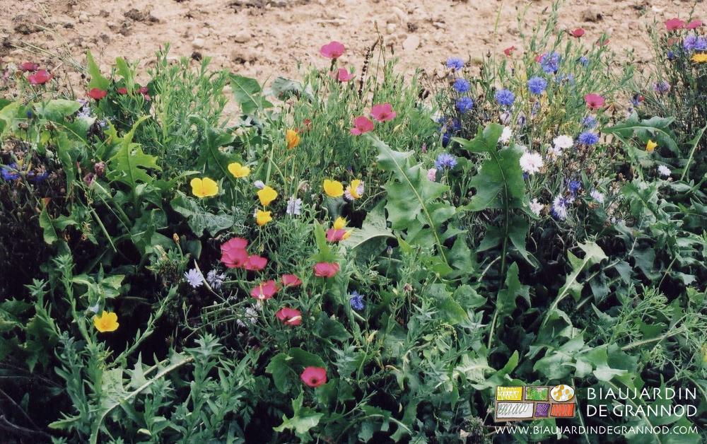Premiers mélanges pour bandes fleuries en 2001