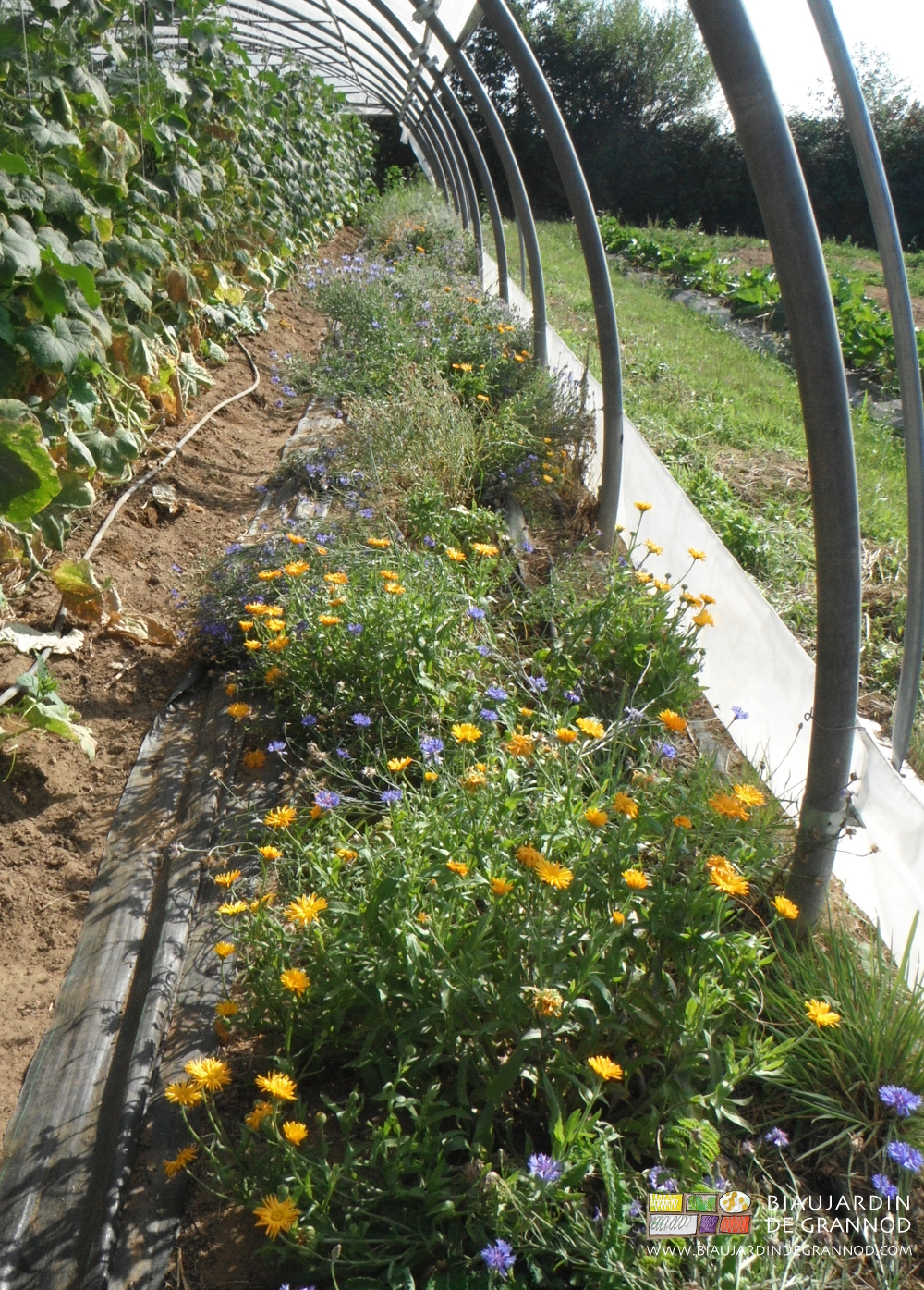 """Bordure fleurie """"en production"""", allée permanente couverte par toile de paillage laissant la terre de la planche accessible aux auxiliaires."""