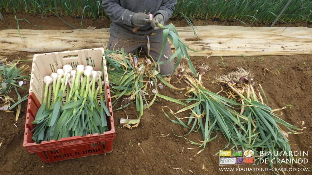 Récolte et épluchage de l'ail nouveau en vert.