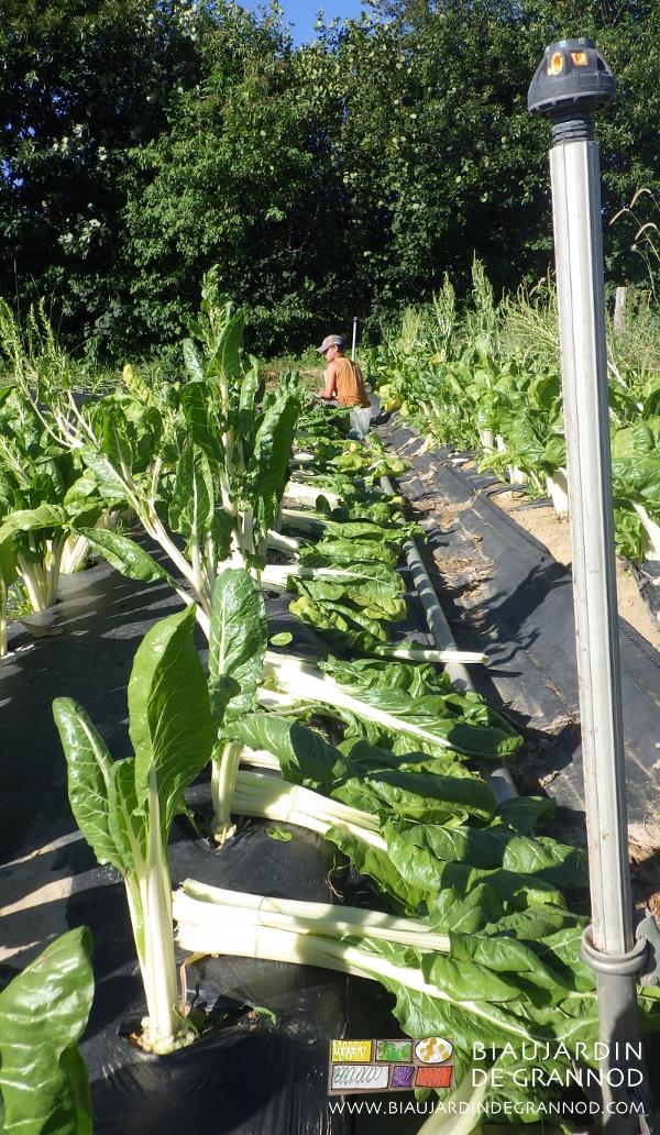 récolte en botte de cote de bette de plein champ