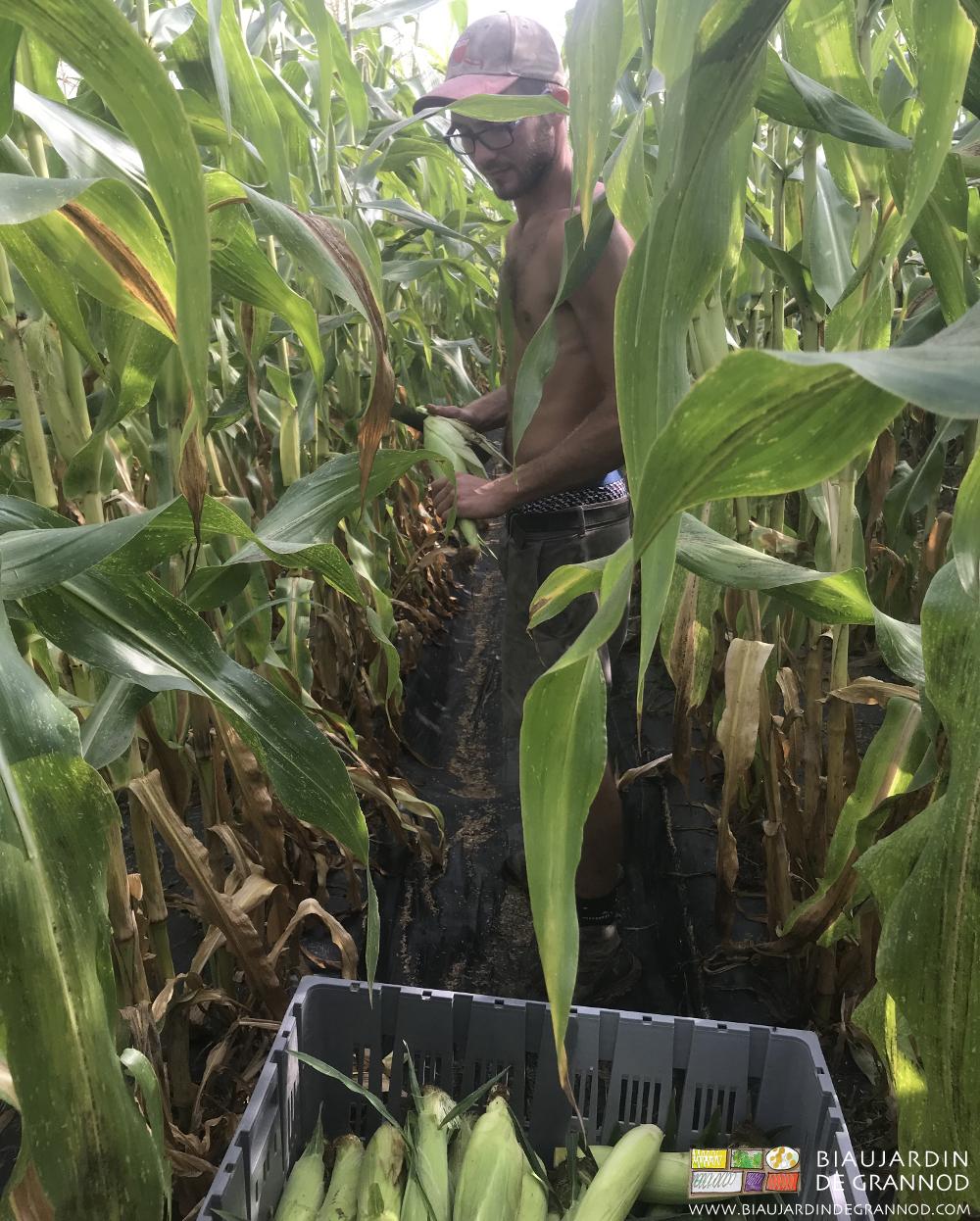 Récolte de maïs doux