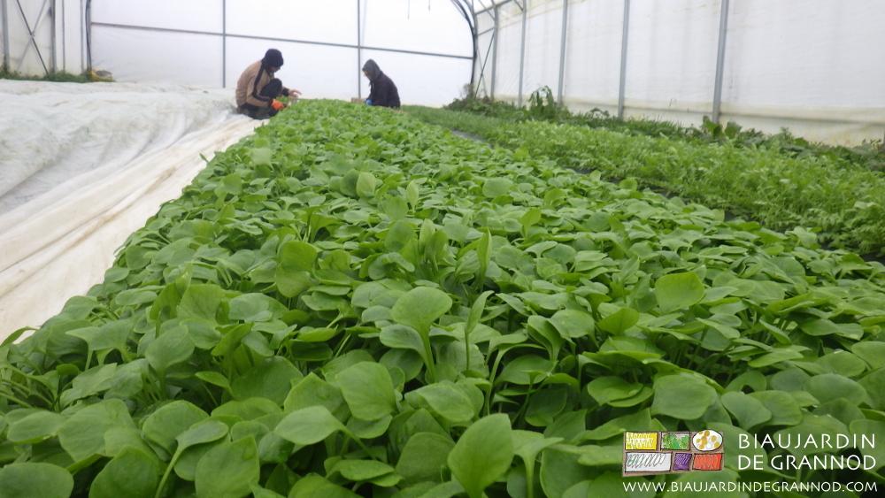 Récolte de claytone de Cuba en conditions froides