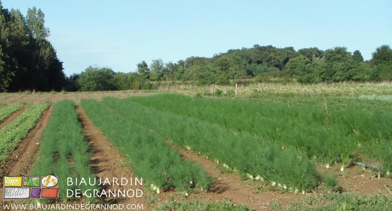 échelonnement des cultures de fenouil, état en septembre