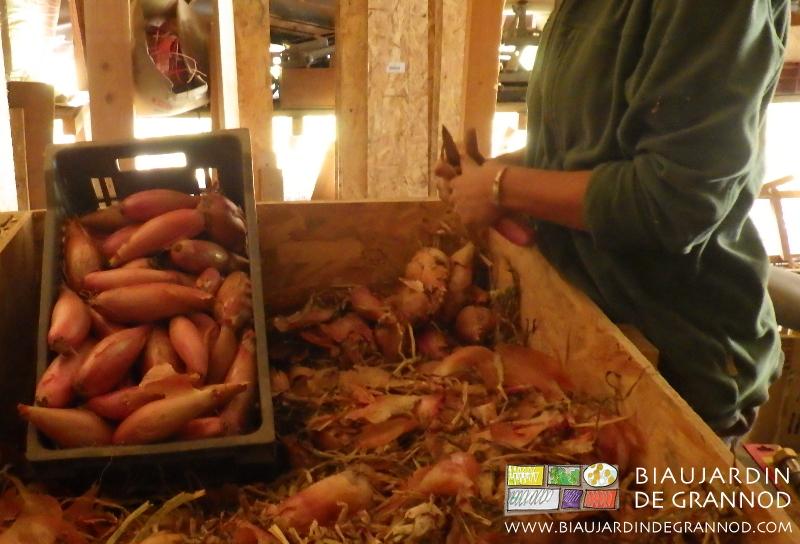 préparation de l'oignon cuisse de poulet du Poitou pour les paniers